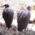 VultureCam.20120218_161054