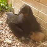 Random image: Five-day old DFW chick with adult.