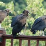 Random image: Tri-State Vulture Family 2011