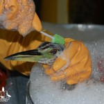 Oil is carefully removed from the crown of a night heron.