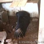 VultureCam.20120223_073103 Wing streatching