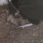VultureCam.20120402_085548 First Breakfast