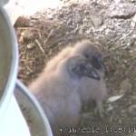 VultureCam.20120416_130811 15 Day Chicks