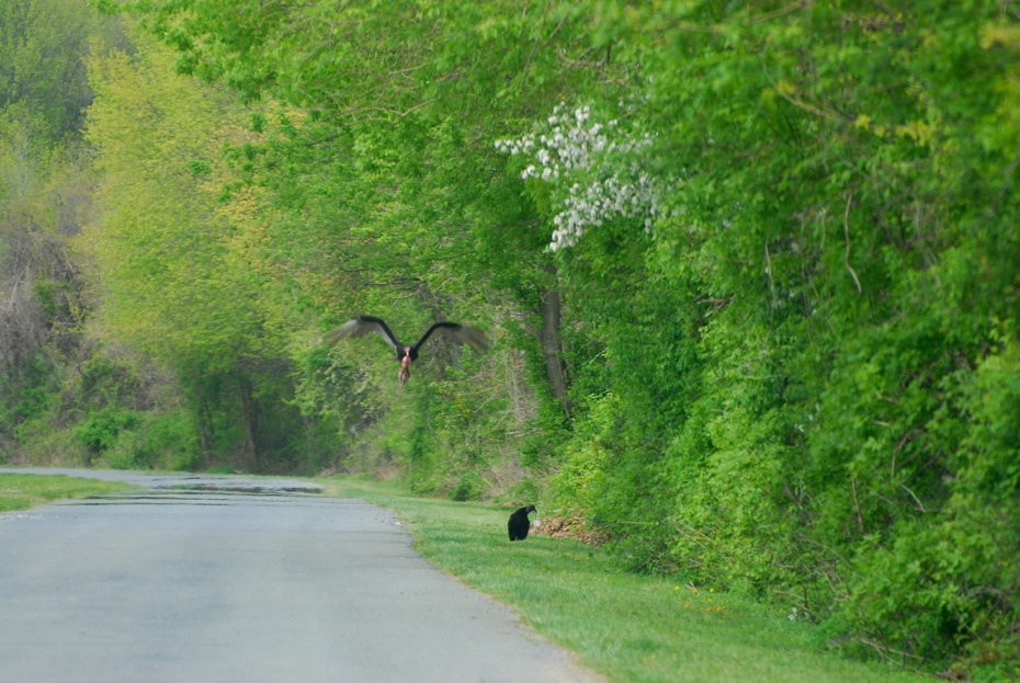 Turkey vulture flying off with a road-kill squirrel, watched by a black vulture.