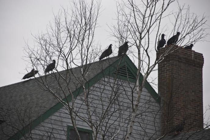 Vultures on rooftop (DSC_4429_2)
