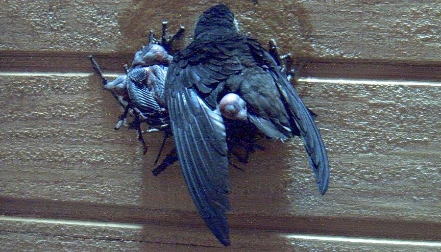 Nesting Chimney Swifts